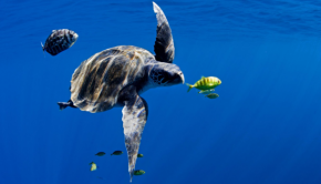 Turtle and fish swim in the ocean